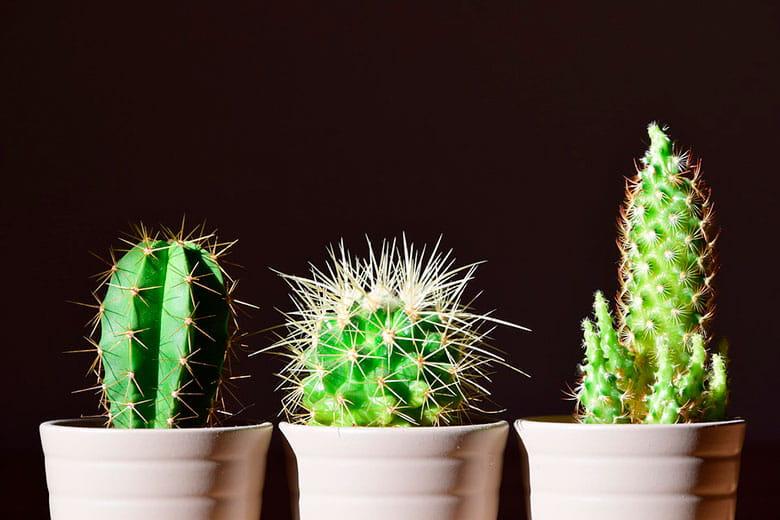 El éxito de los cactus